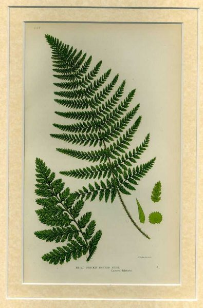 Image for BROAD PRICKLY TOOTHED FERN: Mounted print from Flowering Plants, Grasses, Sedges and Ferns of Great Britain