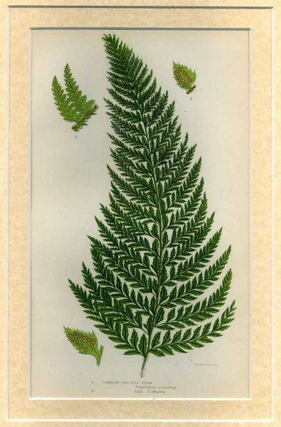 Image for COMMON PRICKLY  FERN: Mounted print from Flowering Plants, Grasses, Sedges and Ferns of Great Britain