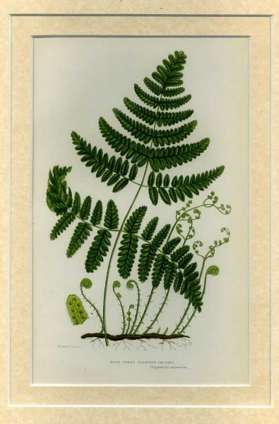 Image for RIGID THREE BRANCHED POLYPODY: Mounted print from Flowering Plants, Grasses, Sedges and Ferns of Great Britain