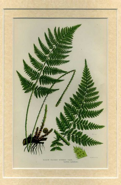 Image for NARROW PRICKLY TOOTHED FERN: Mounted print from Flowering Plants, Grasses, Sedges and Ferns of Great Britain