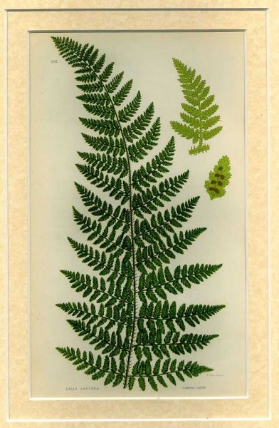 Image for ROGID LASTREA: Mounted print from Flowering Plants, Grasses, Sedges and Ferns of Great Britain