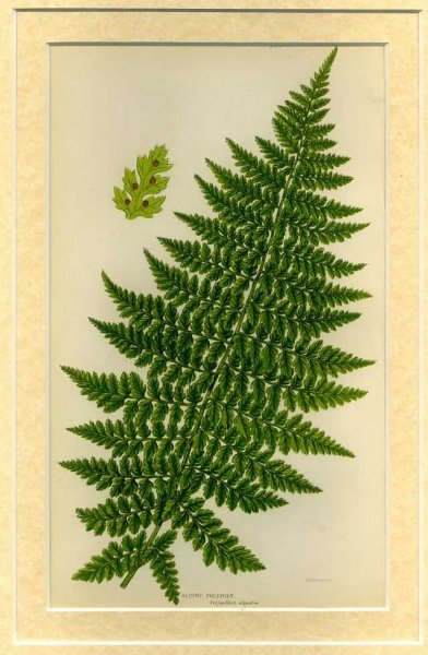 Image for ALPINE POLYPODY: Mounted print from Flowering Plants, Grasses, Sedges and Ferns of Great Britain