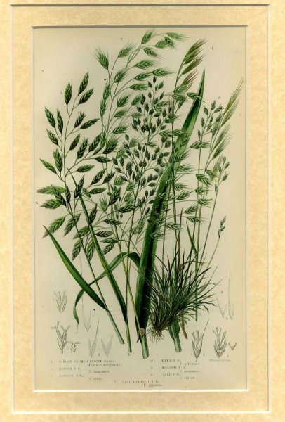 Image for Mounted print from Flowering Plants, Grasses, Sedges and Ferns of Great Britain