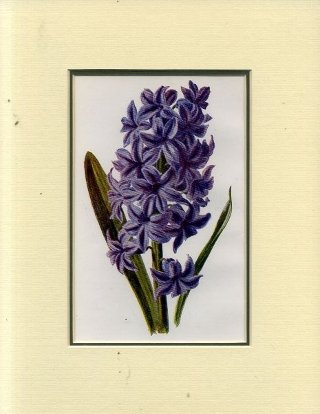Image for HYACINTH: Mounted print from Familiar Garden Flowers