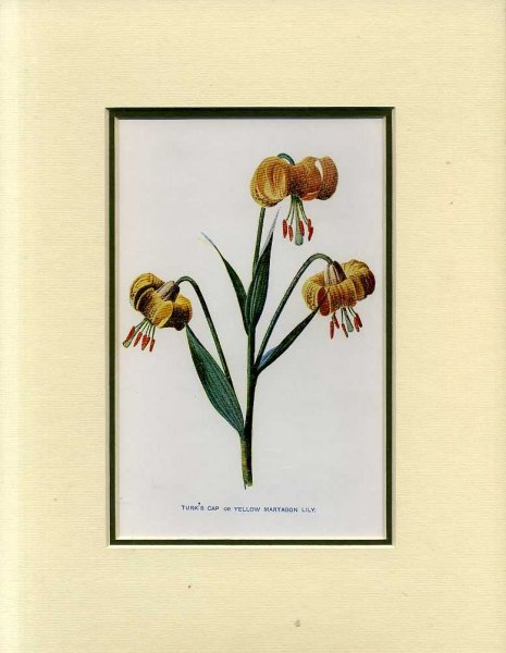 Image for TURKS CAP or YELLOW MARTAGON LILY: Mounted print from Familiar Garden Flowers