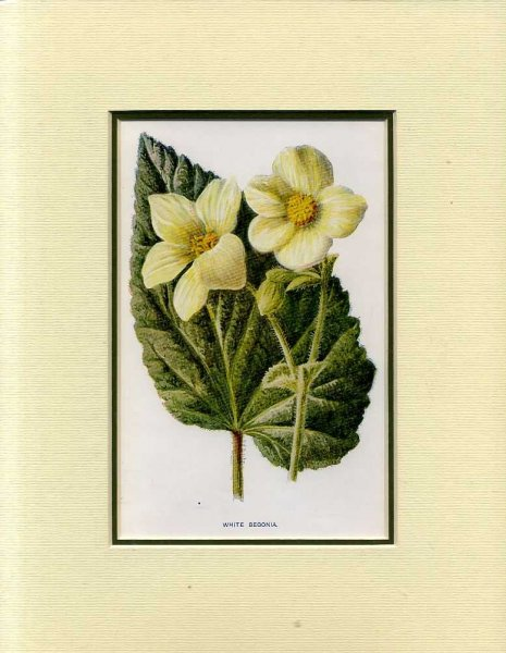 Image for WHITE BEGONIA: Mounted print from Familiar Garden Flowers
