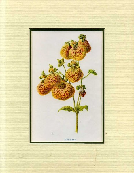 Image for CALCEOLARIA: Mounted print from Familiar Garden Flowers