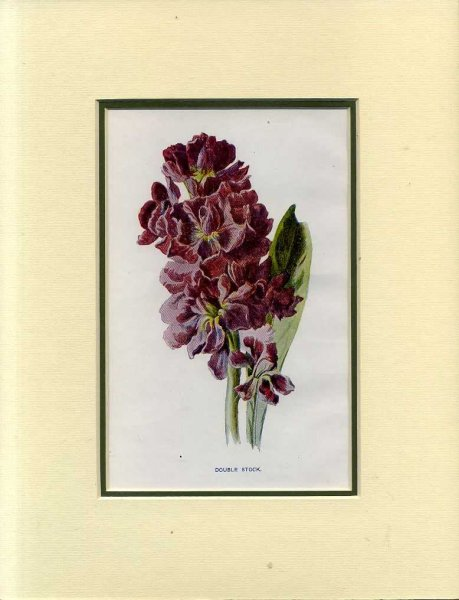 Image for DOUBLE STOCK: Mounted print from Familiar Garden Flowers
