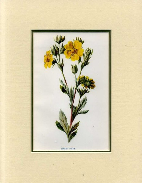 Image for GARDEN AVENS: Mounted print from Familiar Garden Flowers