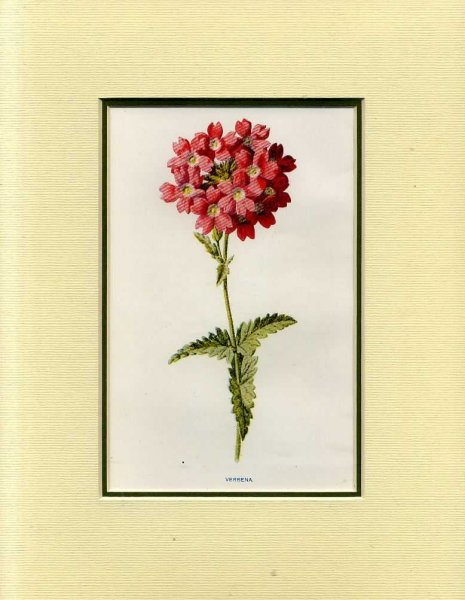 Image for VERBENA: Mounted print from Familiar Garden Flowers