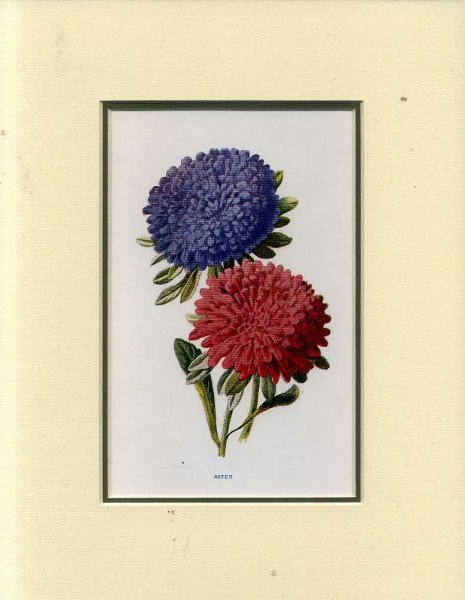 Image for ASTER: Mounted print from Familiar Garden Flowers