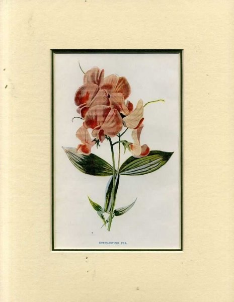 Image for EVERLASTING PEA: Mounted print from Familiar Garden Flowers