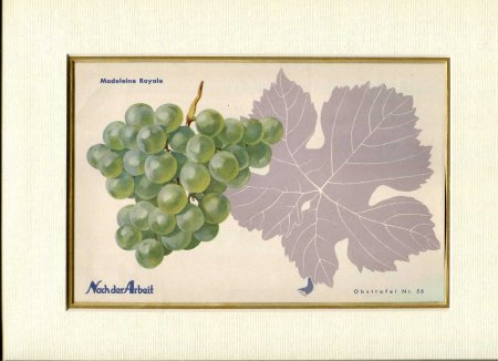 Image for Fine Coloured Print of Grapes 'Madeleine Royale' from Nach der Arbeit