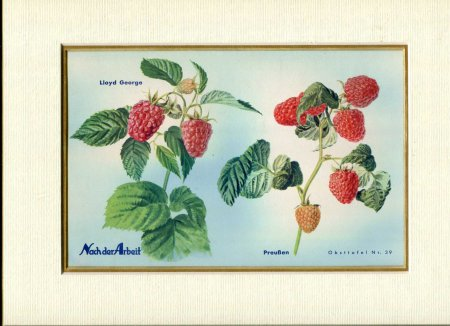 Image for Fine Coloured Print of Rasberries ' Lloyd George & Preusen' from Nach der Arbeit
