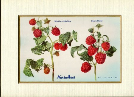Image for Fine Coloured Print of Rasberries ' Winklers Samling & Deutschland' from Nach der Arbeit