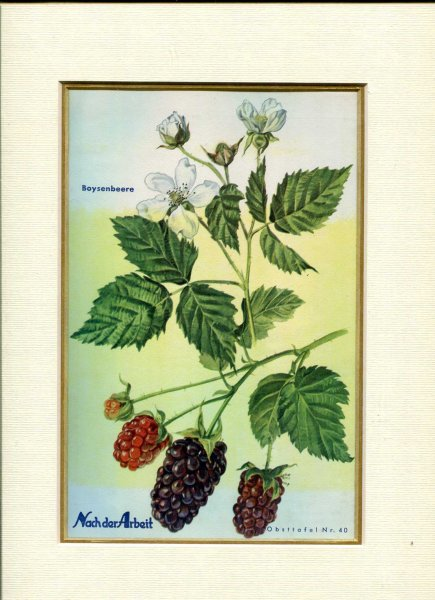Image for Fine Coloured Print of berries ' Boysenbeere' from Nach der Arbeit