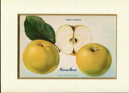 Image for Fine Coloured Print of an Apple 'Gelber Edelapfel' from Nach der Arbeit