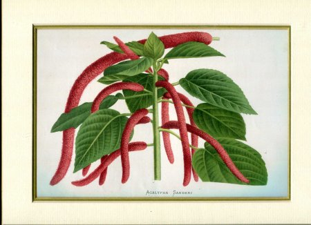 Image for Mounted Antique Coloured Print 'Acalypha Sanderi' from 'Le Moniteur d'Horticulture'