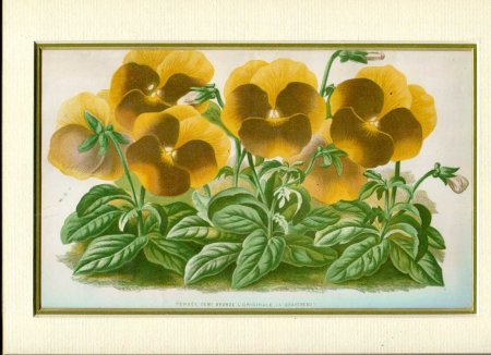 Image for Mounted Antique Coloured Print 'Pensee Demi Bronze' from 'Le Moniteur d'Horticulture'