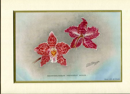 Image for Mounted coloured print 'Odontoglossum President Henin' taken from 'Revue de l'Horticulture Belge et etranger'