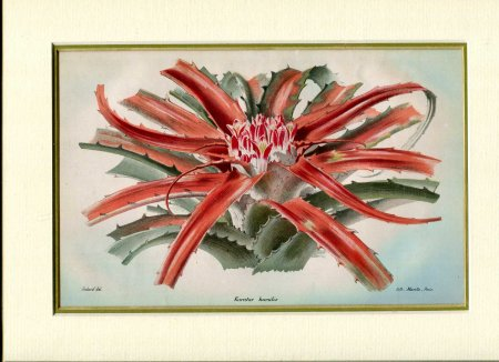 Image for Mounted coloured print 'Karatas Humilis' taken from 'Revue de l'Horticulture Belge et etranger'