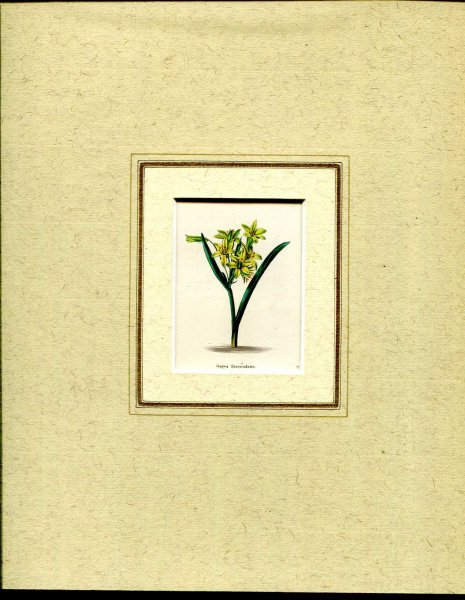 Image for Mounted hand coloured print 'Gagea fascicularis' from 'The Botanic Garden'