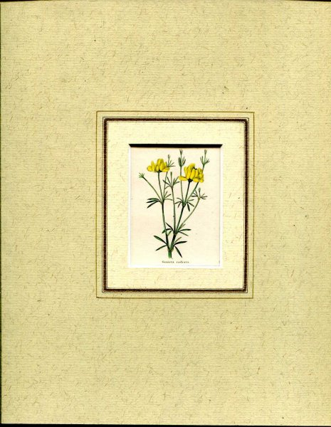Image for Mounted hand coloured print 'Genista radiata' from 'The Botanic Garden'