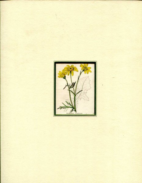 Image for Mounted hand coloured print 'Eriophyllum caespitosum' from 'The Botanic Garden'