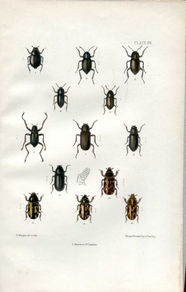 Image for The Coleoptera of the British Islands, a descriptive account of the families, genera, and species indigenous to Great Britain and Ireland, Part XXVIII and Part XXIX (double issue)
