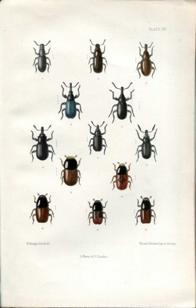 Image for The Coleoptera of the British Islands, a descriptive account of the families, genera, and species indigenous to Great Britain and Ireland, Part LI