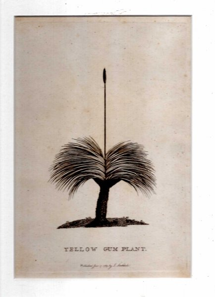 Image for Yellow Gum Plant (The Grass Tree) - Engraved print from The Voyage of Governor Phillip to Botany Bay