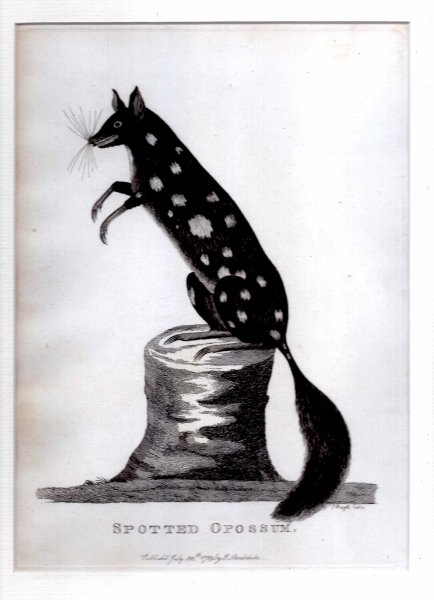 Image for Spotted Opossum - Engraved print from The Voyage of Governor Phillip to Botany Bay