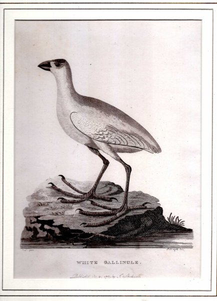 Image for White Gallinule - Engraved print from The Voyage of Governor Phillip to Botany Bay