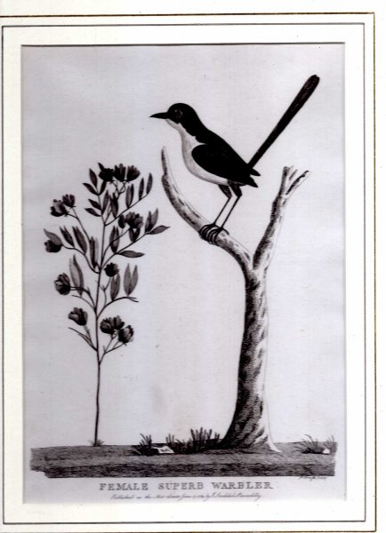 Image for Female Superb Warbler - Engraved print from The Voyage of Governor Phillip to Botany Bay