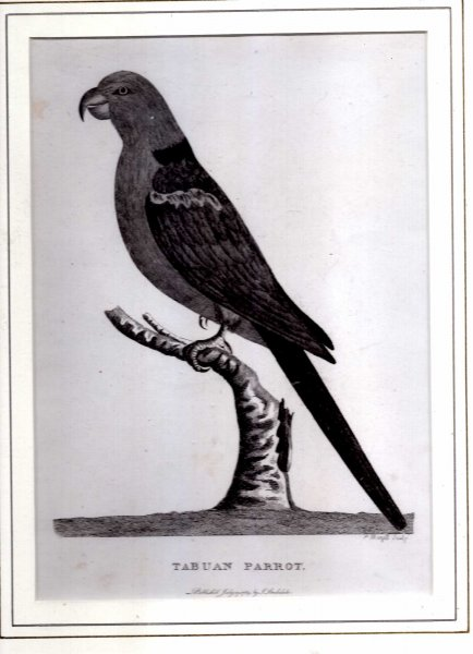 Image for Tabuan Parrot - Engraved print from The Voyage of Governor Phillip to Botany Bay