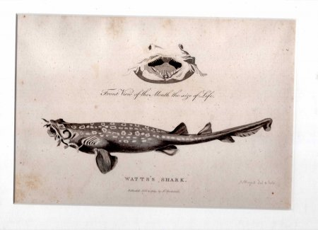 Image for Watts's Shark [Spotted Wobbegong] - Engraved print from The Voyage of Governor Phillip to Botany Bay