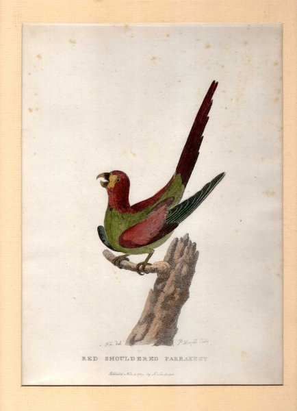 Image for Red Shouldered Parakeet - Engraved print from The Voyage of Governor Phillip to Botany Bay