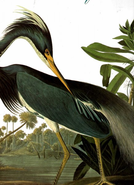 Image for Audubon's Birds of America : The Audubon Society Baby Elephant Folio
